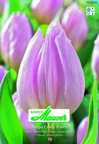 Candy Prince Einfache, frühe Tulpe