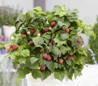 Zwergherbsthimbeere 'Bonbonberry Yummy'
