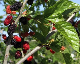 Zwergmaulbeere 'Mojo Berry'